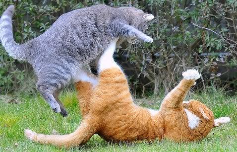 как познакомить взрослых кошек