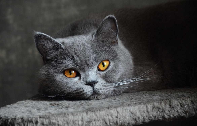 происхождение британских кошек