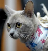 когда стерилизуют кошку возраст