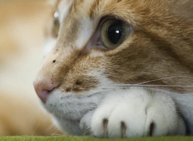 можно ли кошке давать аспирин